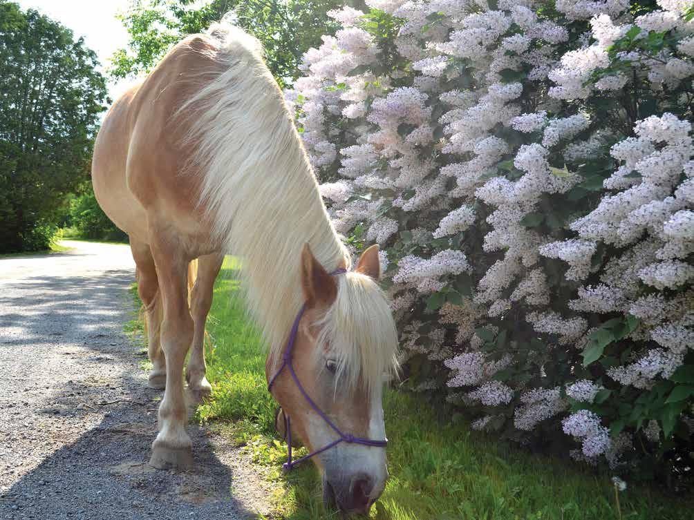Horse: Pebbles
